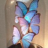 4 Morpho vlinders_
