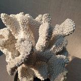 Witte Koraal Op Voet Resine H19_