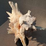 Stekel schelp op kleine ronde voet H18_