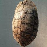 schildpad_