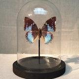 blauwe vlinder_