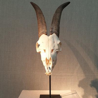 Schedel Ram