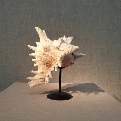 Stekel schelp op kleine ronde voet H18