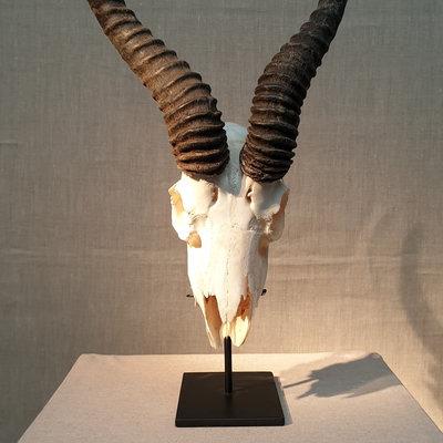 schedel springbok